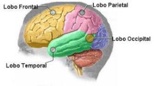 cerebro-divisao-dos-lobos-v1