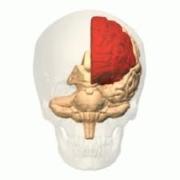cerebrolobos